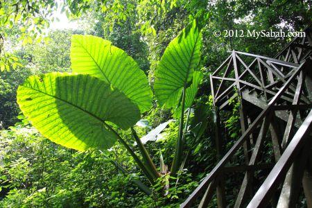 huge Buntui plant