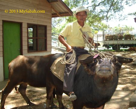 Bajau, Cowboy of the East