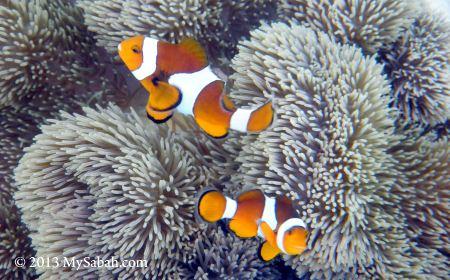 Nemo in coral