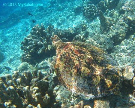 sea turtle of Sipadan