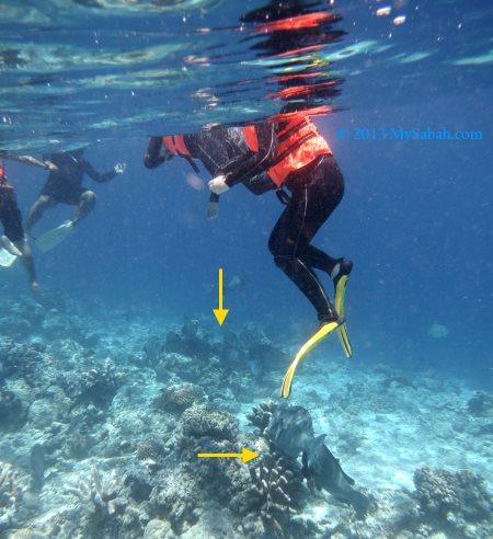 Bumphead Parrotfish under our feet