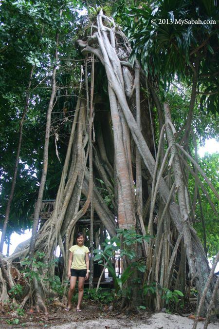 big tree on Sipadan Island