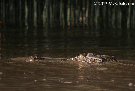 crocodile in river