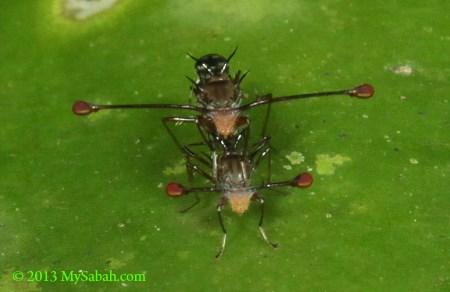 Stalk-eyed Flies