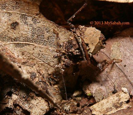 ant assassin bug