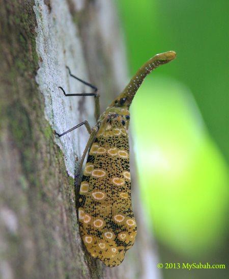 lantern bug (Fulgoridae)