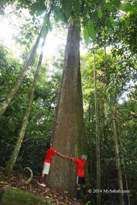 old Borneo Ironwood