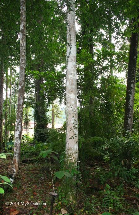 Gaharu tree