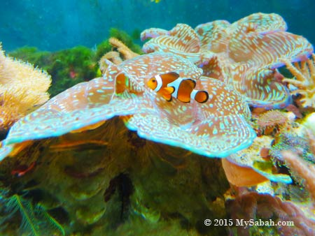 clownfish and giant clams