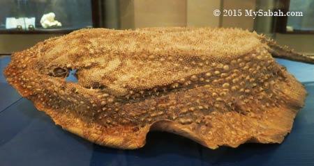 Durian Ray (Urogymnus asperrimus)