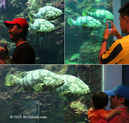 tourists taking photos of hybrid groupers