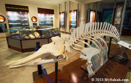 skeleton of Cuvier's Beaked Whale (Ziphius cavirostris)