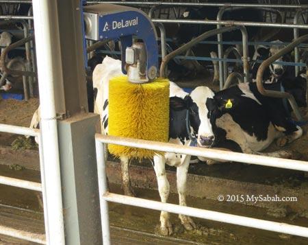 cow enjoying rotating cow brush