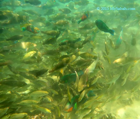 big school of foraging fishes