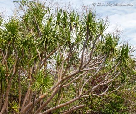 Dracaena multiflora of Bohey Dulang