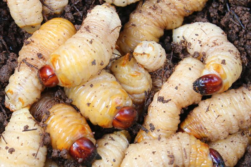 sago worm butod