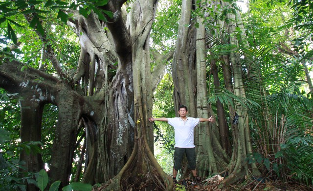 KK's Largest Banyan Tree