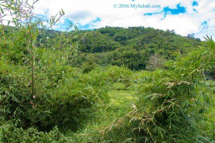 Bamboo trees and shrubs in Tambunan