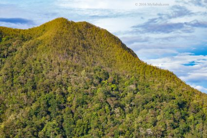 Two distinct forest of Mt Wakid, the darker lowland rainforest and lighter heath forest near the top