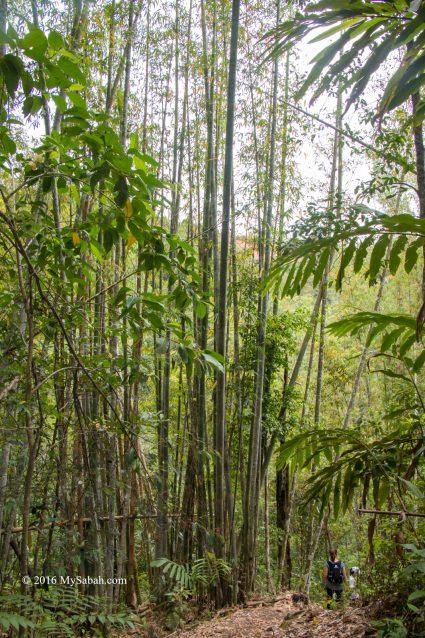 tall bamboo trees