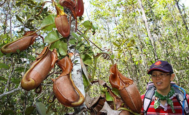 Pitcher plant in heath forest of Maliau Basin