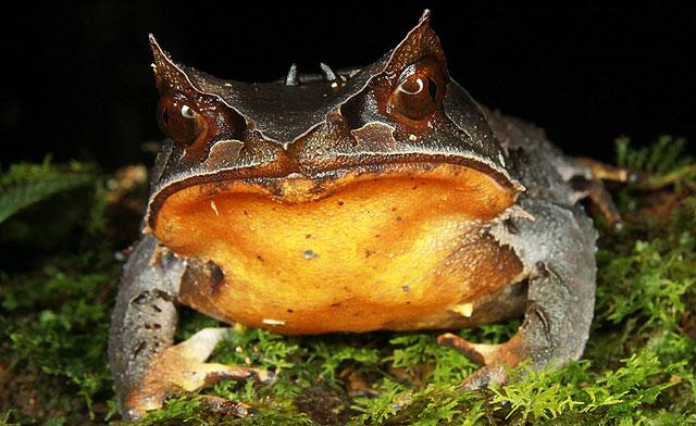 Bornean Horned Frog