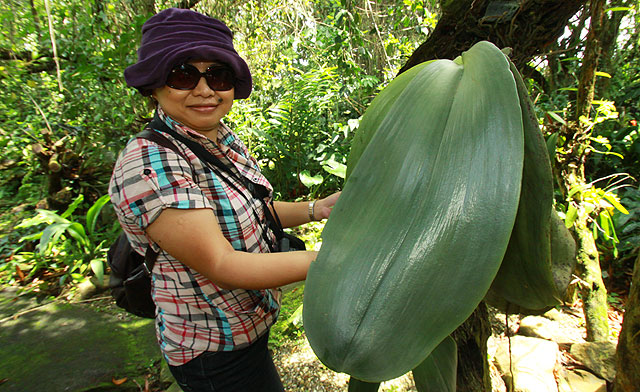 Largest orchid leaf in the world