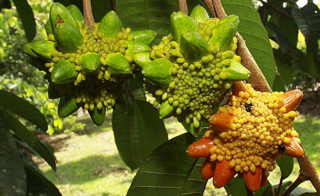 Kesusu fruit