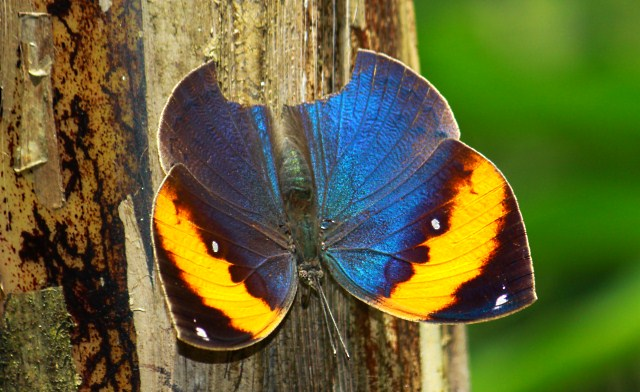 Butterfly of Poring