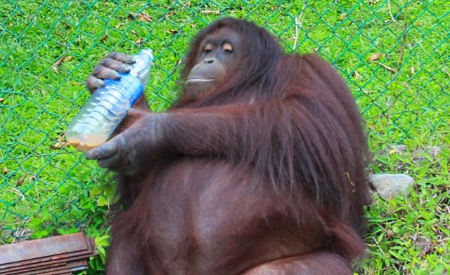 Jackie the orangutan of Poring