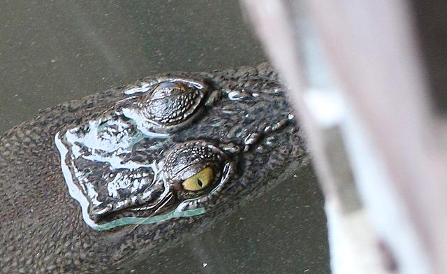 Crocodile in Likas River