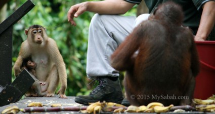 Cheeky macaques wait for their share