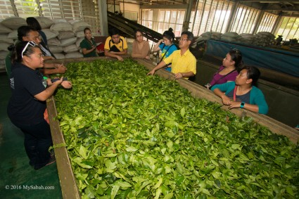 Tea processing in factory