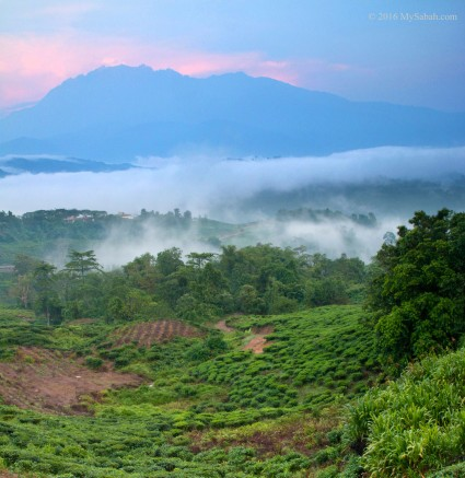 Sabah Tea plantation under Mt. Kinabalu
