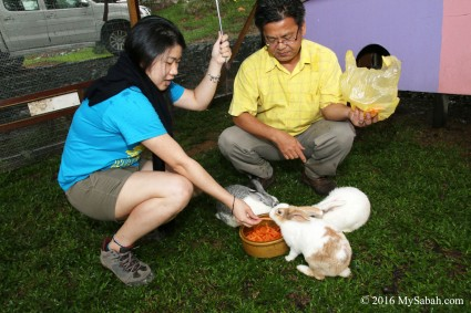 Feeding rabbits of Sabah Tea