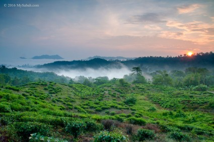 Sabah Tea Plantation during sunrise