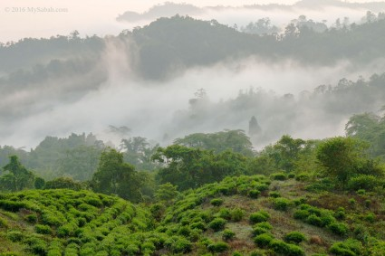 Misty forest near Sabah Tea