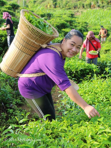 Collecting tea leaves with Wakid container