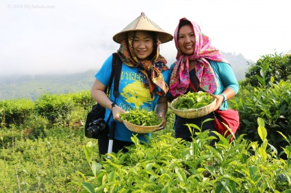 Tea harvesting at Sabah Tea
