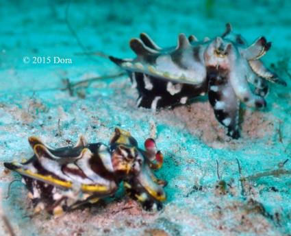 pair of Flamboyant cuttlefish