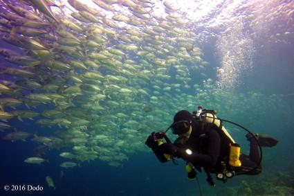Diving among school of Jackfish