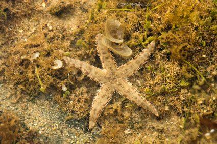 Starfish in tide pool