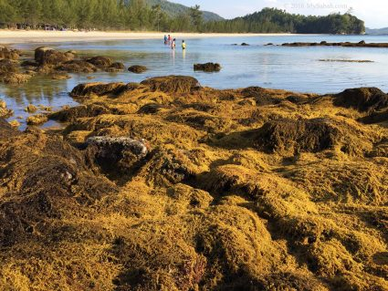 Rocky beach covered by yellow seaweed