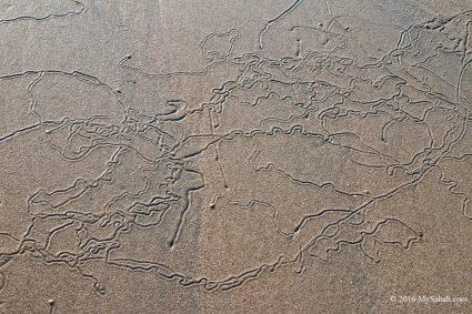 Crawl marks left by seashells
