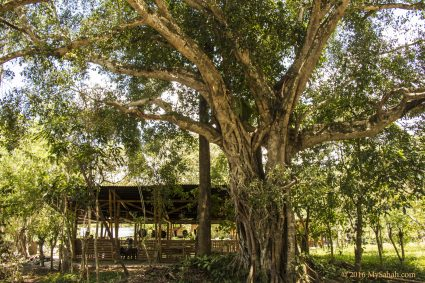 This fig tree is the icon of Kiulu Farmstay