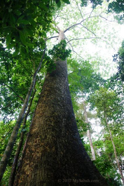 Tall tree in Serinsim Park