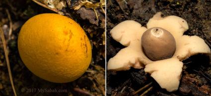 Earthstar mushroom (Geastrum sp.)