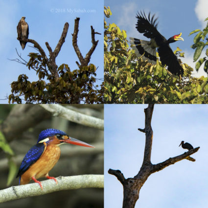 Birds of Kinabatangan