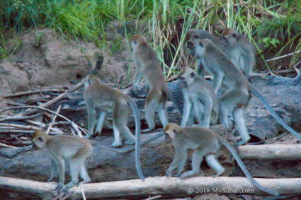 Long-tailed macaques in alert
