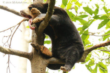 A sleeping sunbear high on tree